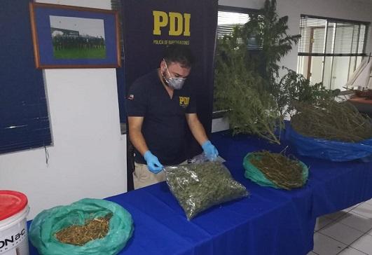 Incautan más de seis mil quinientas dosis de marihuana en Salamanca