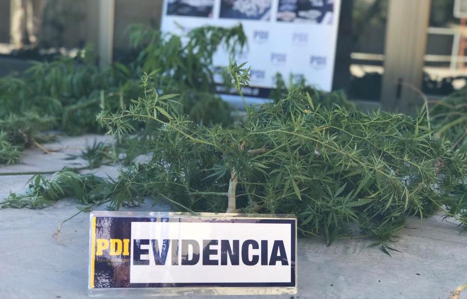 PDI incauta cannabis procesada y cultivos en tres domicilios de Vicuña