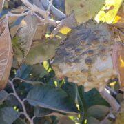 Pérdida total de chirimoyas por bajas temperaturas en la Región de Coquimbo