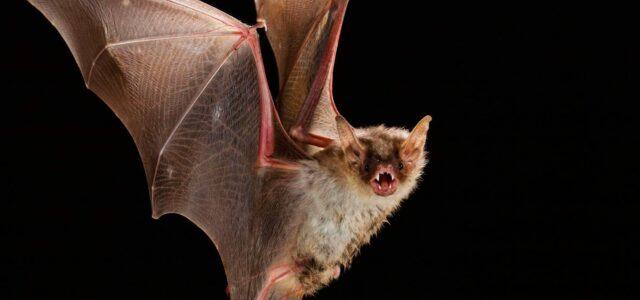 Confirman un nuevo caso de murciélago con Rabia en La Serena